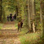 Cerf dans les bois