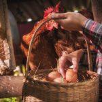 femme qui ramasse les oeufs d une poule
