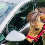 cheval a cote d un voiture